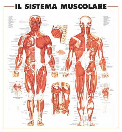 poster Sistema Muscolare