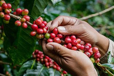 Caffè Biologico Equosolidale