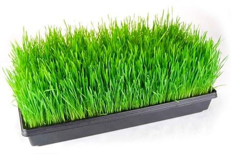 Erba di Grano: Energia Verde