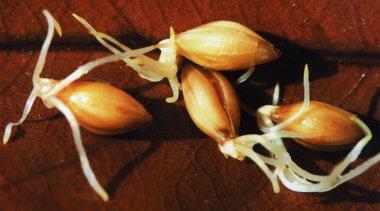 La storia dei semi germogliati